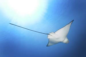 Eagle Ray in the Light, Komodo National Park, Indonesia